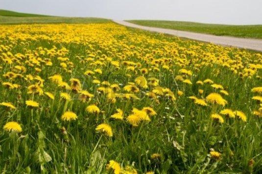 dandelionmeadow