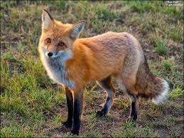 foxend